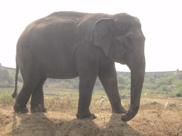 Elephant Rani, adopted by Tollywood actor Ram Charan's wife on Monday. Photo/ANI