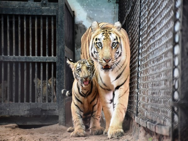 Founder of Humans of Hyderabad has offered to adopt one Royal Bengal tiger for one year
