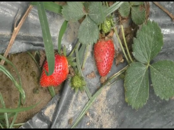 Strawberry growers suffer huge losses in Sambhal district amid lockdown (Photo/ANI)
