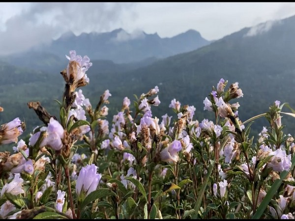 The Neelakurinji flowers. (Photos/ANI)