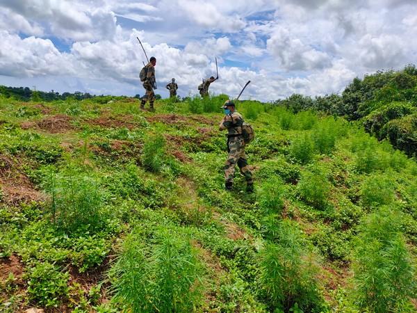 Border Security Force personnel destroy ganja saplings in Tripura