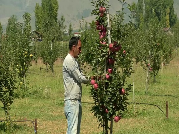 A farmer collecting apples in Kashmir on Saturday. Photo/ANI