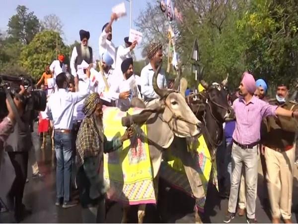 A visual showing SAD MLAs on their way to Punjab Vidhan Sabha on bullock cart. (Photo/ANI)
