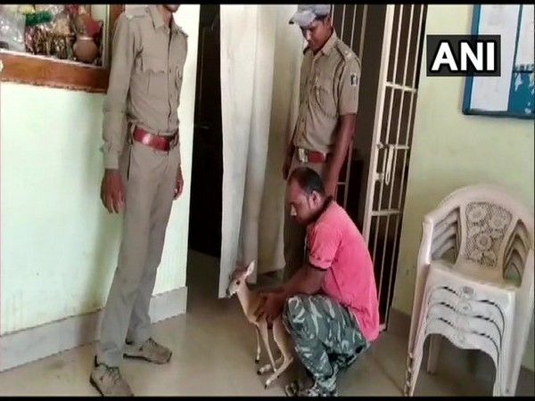 The Barking Deer (Indian Muntjac) rescued by forest officials in Nayagarh, Odisha