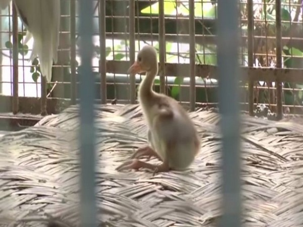 Baby crane in Lucknow Zoo (Photo/ANI)