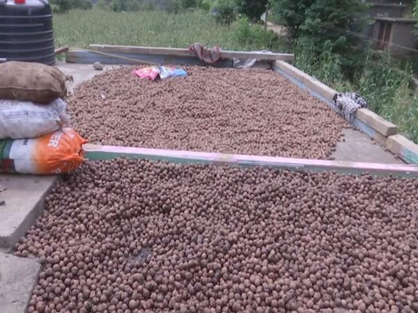 Walnuts grown in Kotranka Budhal (Photo/ANI)