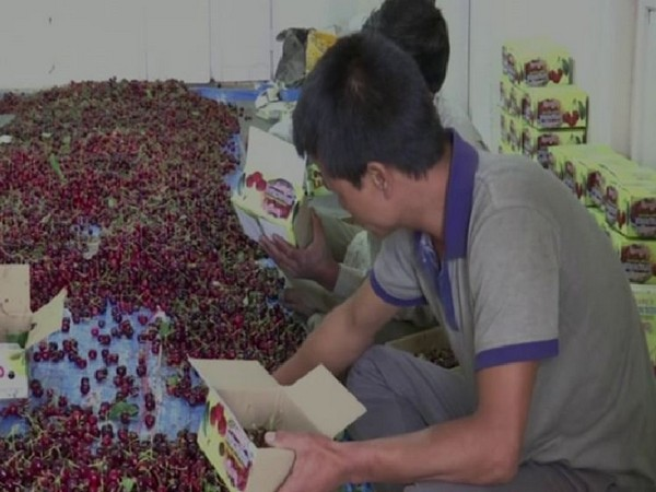 Cherries being packed in a Himachal farm (Photo/ANI)