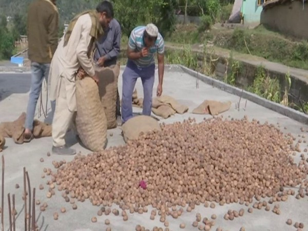 Farmers in Rajouri District are adapting walnut farming on a large-scale (Photo/ANI)
