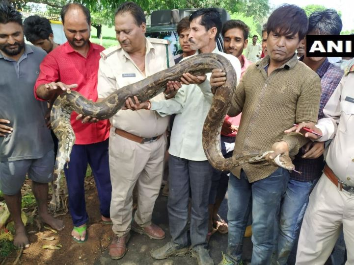 A 12 feet long python was rescued by the forest department from Chandukhedi village, Madhya Pradesh on Friday. (Photo/ANI)