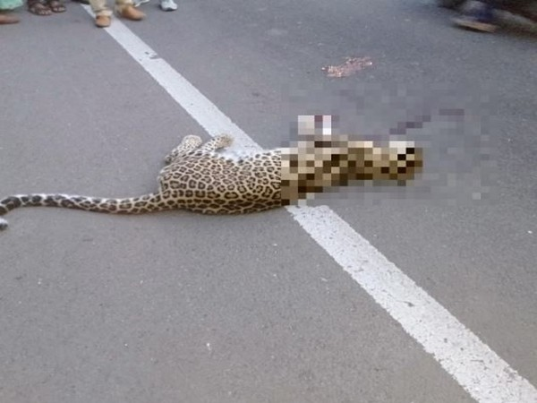 A female leopard met with a road accident near Pimpri Pendhar, Pune on Sunday (Photo/ANI)