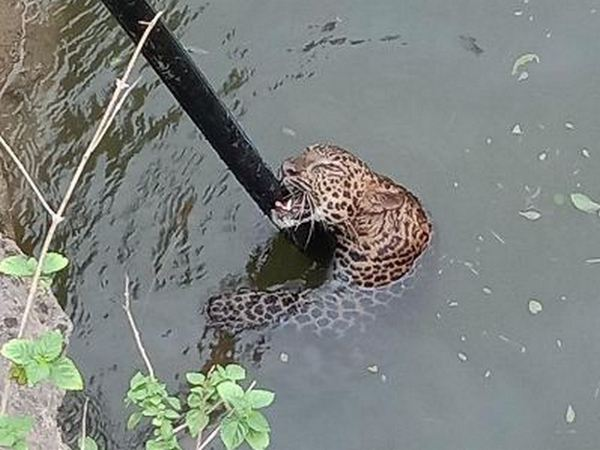 A four-year-old male leopard was rescued by Shirur Range Rescue and Wildlife SOS from a well in Shirur Taluka, Pune (Photo/ANI)