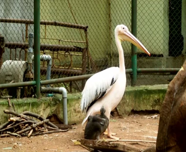 Rosy Pelican nursing her little one at Coimbatore Corporation VOC Park Zoo [Photo/ANI]