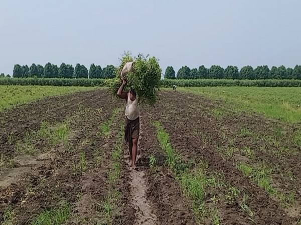 Visual from an agriculture field, Krishna district (Photo/ANI)