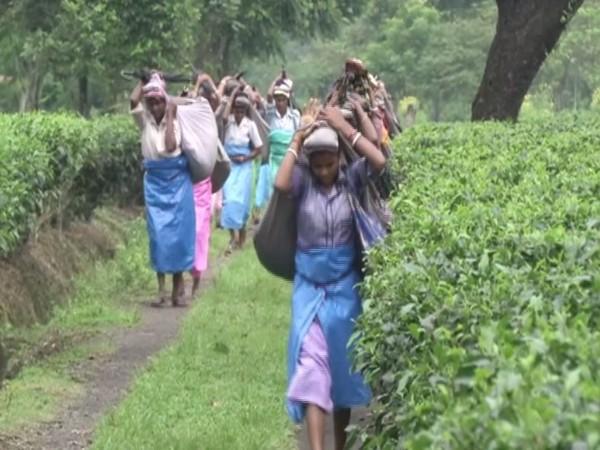 Tea planters in Siliguri. Photo/ANI