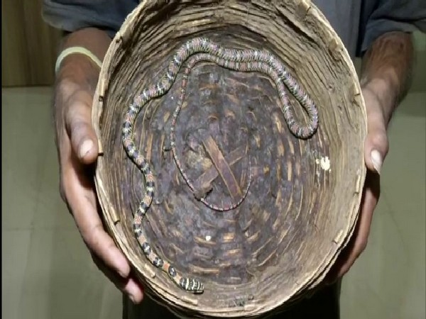 A flying snake rescued from a man's possessions in Odisha's Bhubaneshwar on Tuesday (Photo/ANI)