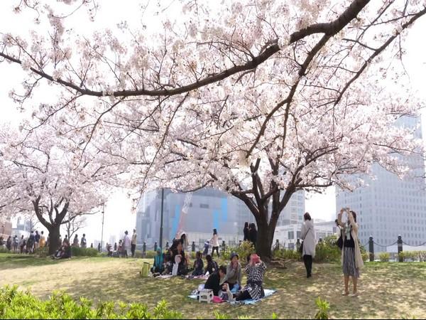 The Sakura flower bloom (Cherry blossom) season started in Japan