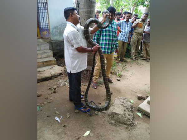 King Cobra in Rayagada district of Odisha (ANI)