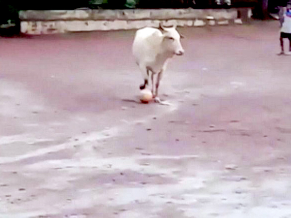 Cow playing footbal in Mardol, Goa
