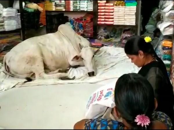 A cow has made it a habit to daily come inside 'Sri Sairam cloth showroom' in Kadapa to take rest. Photo/ANI