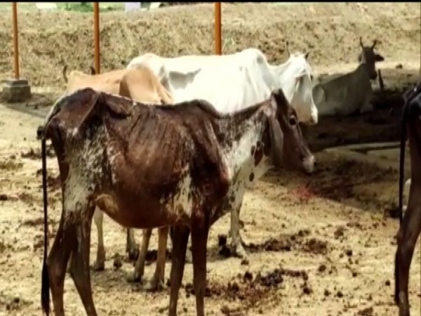 Visuals of Barabanki cow shelter in Uttar Pradesh. (Photo/ANI)