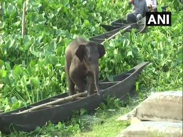 A baby elephant was rescued by NDRF and state forest department team in Assam's Kamrup. Photo/ANI