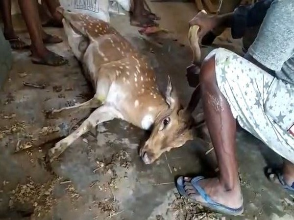 A deer in Madhavaram village of Chittoor district on Monday. (Photo/ANI)