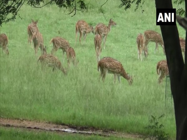 Deer in Palamu Tiger Reserve. (Photo/ANI)