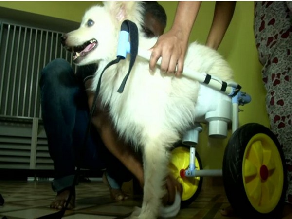 The 4-year-old dog Veera using a custom-made wheel chair to walk (Photo ANI)
