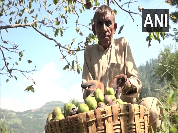 A walnut farmer in Panchari village, Udhampur. (Photo/ANI)
