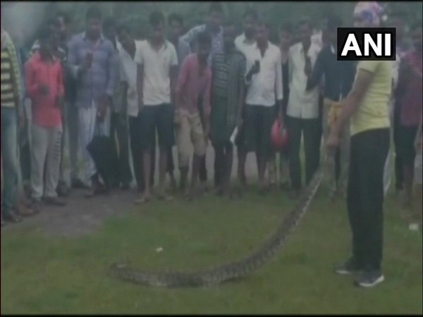 A nearly 8-foot-long Indian rock python being rescued from an open field in Odisha's Jajpur district.