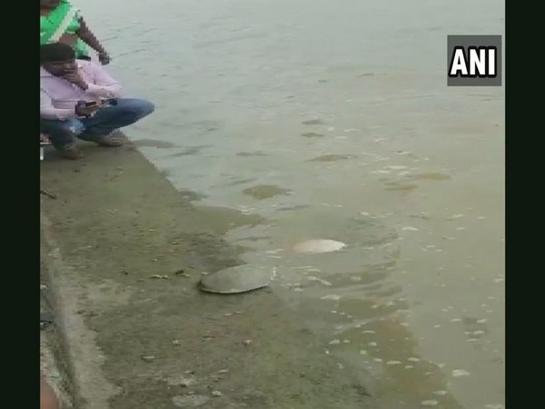 Tortoises being released in the Shivnath River in Chhattisgarh's Rajnandgaon district on Thursday. Photo/ANI