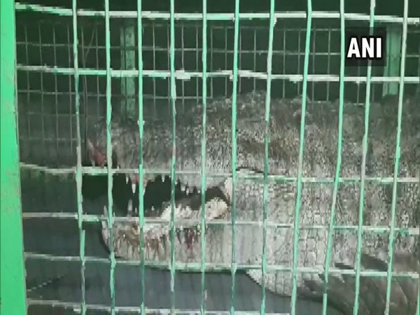 The rescued crocodile.