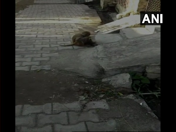 A female monkey was seen roaming around, while carrying a puppy, in Haridwar's Gaytri Colony. Photo/ANI
