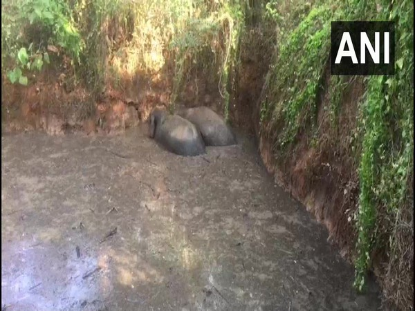 Two wild elephants who fell into a pond in Kerala are being rescued by officials. Photo/ ANI