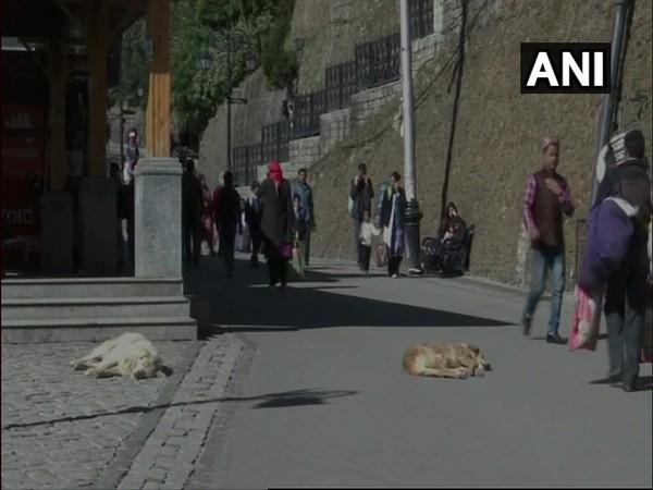 Stray dogs in Shimla.
