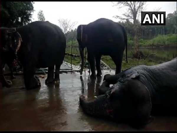 48-day temple elephant rejuvenation camp begins in Coimbatore. Photo/ANI