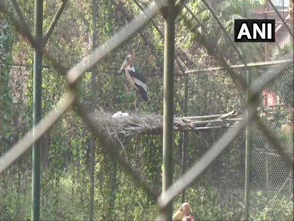 A picture of Greater adjutant stork. Photo/ANI