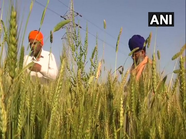 Farmers in Amritsar having to do all the work by themselves. Photo/ANI