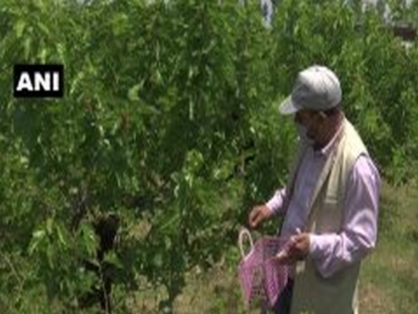 Timely rainfall and organic fertilisers helped in better production of Mulberry production in Srinagar. [Photo/ANI]