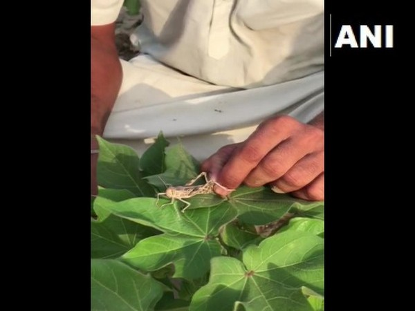Some areas of Bathinda district in Punjab were attacked by locust swarms on Thursday.