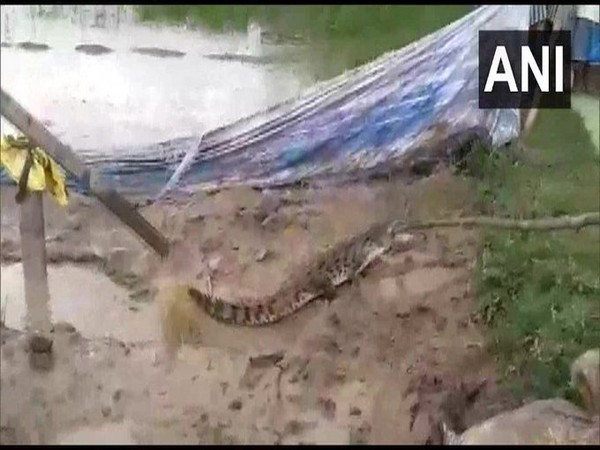 The crocodile rescued from Khatima in Uttarakhand on Thursday.