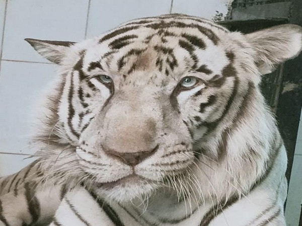 Kiran, the white male tiger which passed away on Thursday at Nehru Zoological Park, Hyderabad. (Photo/ANI)