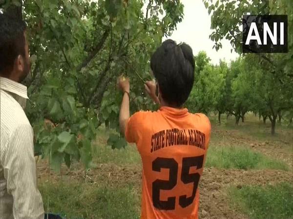 Plucking of apricots has begun in Kralpora, Budgam district.
