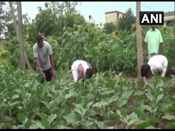 Nayagarh sub-jail inmates working in the vegetable garden.