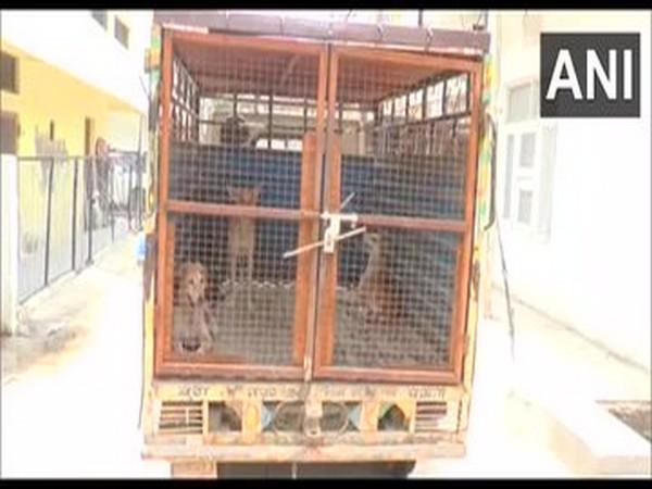 Municipal Corporation and Cantonment Board carry out dog sterilisation drive in Ambala [Photo/ANI]