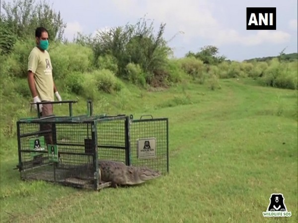 The crocodile was released into the Yamuna in Agra.