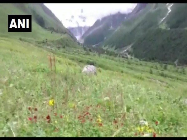 The Valley of Flowers is famous for its over 500 plant species. (Photo/ANI)