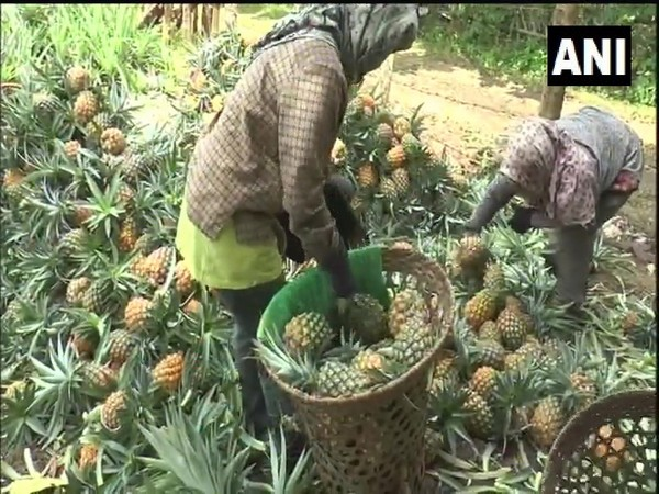 Pineapple farmers of Nagaland (Photo/ANI)