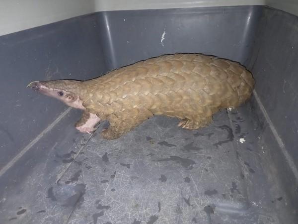 One live pangolin was seized by Odisha Police (Photo/ANI)