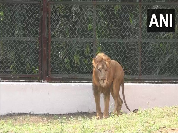The lion at the Sarthana Zoo in Surat. (Photo/ANI)